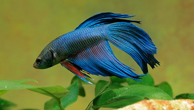 Betta fish feeding frequency betta fish breeding for How much are betta fish
