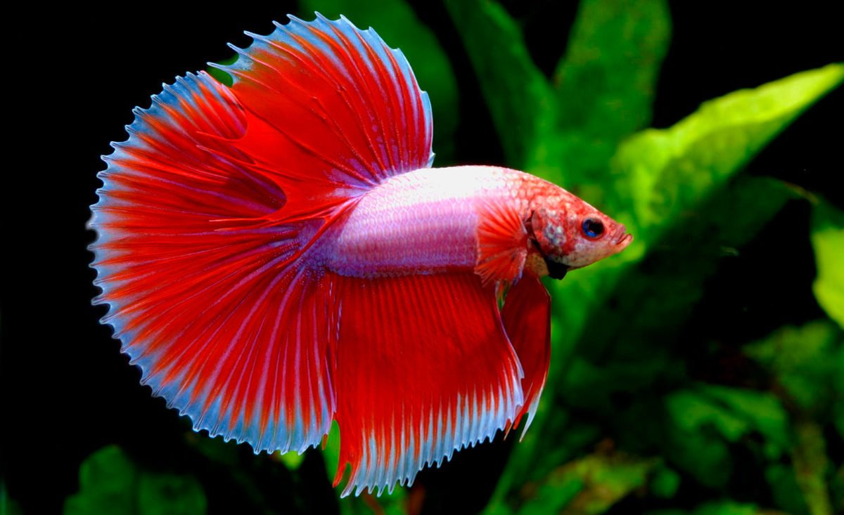 Betta Questions and Answers | Betta Fish Breeding